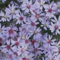 Aster cordifolius  Ideal - Hjertebladet Asters - Bord 13