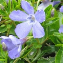 Vinca minor 'Josefine' - Vintergrøn 0,5 L.