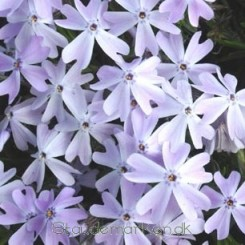 Phlox subulata Emerald Cushion Blue - Lyngfloks Bord 57