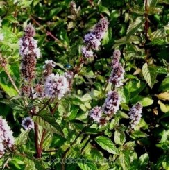 Mentha piperita  'May' - Pebermynte - Bord 43