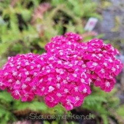 Achillea millefolium Saucy Seduction - Røllike Bord 5
