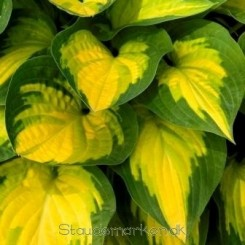 Hosta Orange Marmelade - Funkia  0,5 L 2020 Bord 37