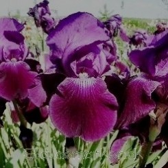 Iris germanica Wild Missouri -  Haveiris 1L Bord 41