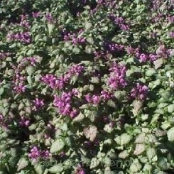 Lamium mac. Red Nancy - Plettet tvetand - Bord 67