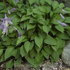 Hosta minor - Hosta - 0,5 L Bord 47