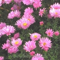 Aster dumosus Rosenwichtel - pudeasters - 1L bord72a