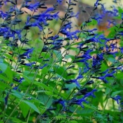 Salvia guaranitica 'Black and Blue' - Shaman-salvie (tåler ikke frost)