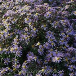 Aster ageratoides 'JS Eleven Purple' - Japansk asters