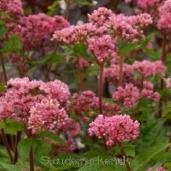 Eupatorium can 'Flora Plenum' -  Hamphjortetrøst 0,5 L