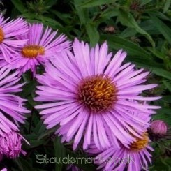 Aster novae-angliae Barr's Pink - Nyengelsk asters - bord 15