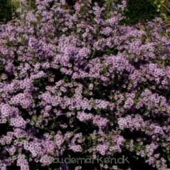 Aster vimineus Lovely - Asters - Bord 19