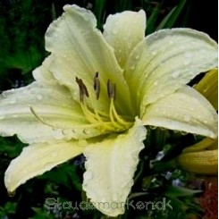 Hemerocallis hybrida Light The Way - Daglilje - 0,5 L Bord 36