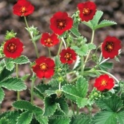 Potentilla atrosanguinea Red - Bord 81