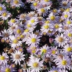 Aster ageratoides Stardust - Japansk asters - Bord 15