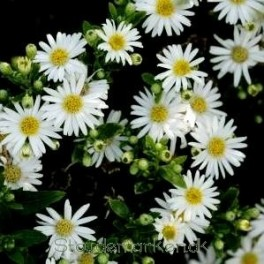 Aster ageratoides Starshine - Japansk asters - Bord 99a
