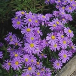 Aster dumosus hybrida Early Blue - Pudeasters - Bord 17
