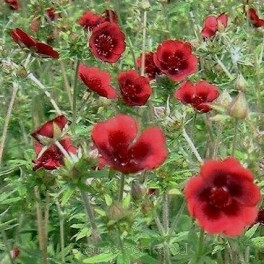 Potentilla thurberi Monarch's Velvet - Potentil - Bord 50