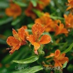 Alstroemeria aur. Orange King - Inkalilje 0,5L
