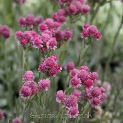 Antennaria dioica Rotes Wunder - Kattefod Bord 2