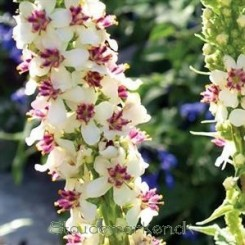 Verbascum Wedding Candles - Kongelys Bord 81