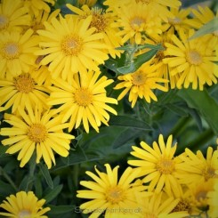 Chrysopsis speciosa Golden Sunshine - Guldasters Bord 12