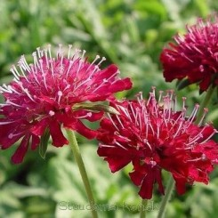 Knautia macedonica Red Knight - Blåhat Bord 48