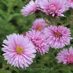 Aster novae-angliae Rosa Sieger - Nyengelsk asters Bord 13a