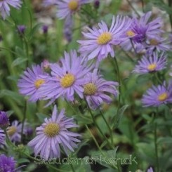 Aster Thomsonii - Nyengelsk Asters Bord 02