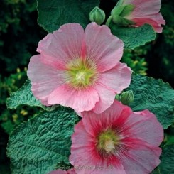 Alcea Rosea-Hybr. Spotlight Series Radiant Rose - Bord 11
