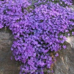 Phlox subulata Purple Beauty - Lyngfloks Bord 37a