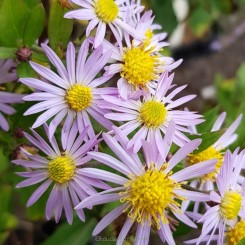 Aster ageratoides Asran - Japansk asters 1L - Bord 15