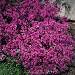 Thymus praecox Red Carpet - Krybende timian Bord 70