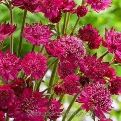 Astrantia major Censation Milano - Stjerneskærm 2020 1L Bord 3