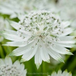 Astrantia major Snow Star - Stjerneskærm 2020 1L Bord 7