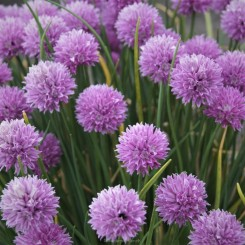 Allium senescens Pink Planet - Prydløg 0,5L Bord 04 2020