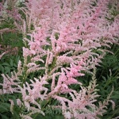 Astilbe arendsii Peaches and Cream - Astilbe 1L Bord 04 2020
