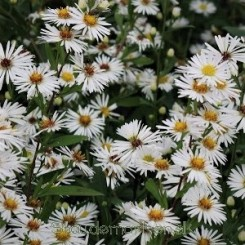 Aster White Climax - Aster  1L 2020 bord 17