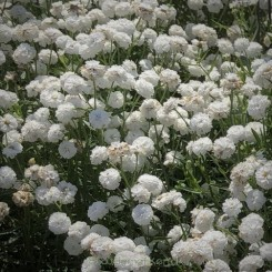 Achillea ptarmica Peter Cottontail - Nyserøllike Bord 04b