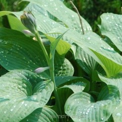 Hosta Marmalade On Toast - Funkia 1L Bord 76