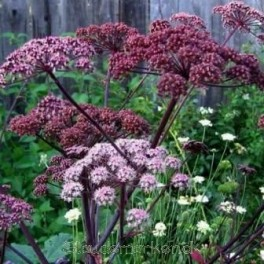 Angelica sylvestris Purpurea - Angelik - Bord 9b