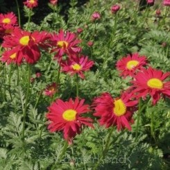 Tanacetum coc. Robinson's Red - Rosenkrave  Bord 78a