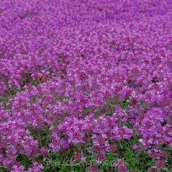 Thymus praecox Purple Beauty - Krybende timian. Bord 87a