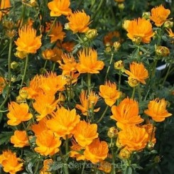 Trollius chinensis Golden Queen - Kinesisk engblomme Bord 45