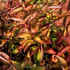 Weigela Wings of Fire - Klokkebusk  Prydbusk Bord 67