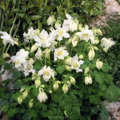 Aquilegia Spring Magic White - AkelejeBord 14b
