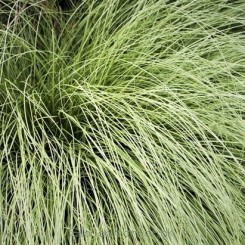 Carex comans Amazon Mist - Star 07a