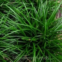 Carex foliosissima Irish Green - Japansk Star 20b