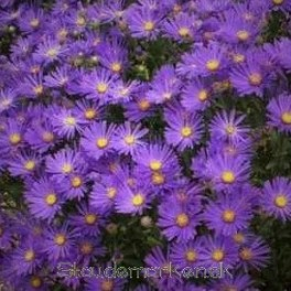 Aster amellus Veilchenkonigin -  Virgil Asters Bord 20a