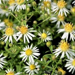 Aster ericoides Golden Spray - Lyng asters hedeasters 11b