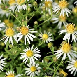 Aster ericoides Golden Spray - Lyng asters hedeasters 11b og 18a